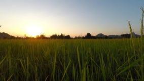 Sunset paddy fields. The sun was falling paddy fields stock video footage
