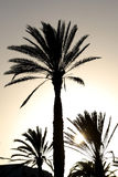 Sunset with palm tree Royalty Free Stock Image