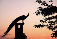 Sunset Peacock. Peacock Perched on Chimney at Sunset royalty free stock images