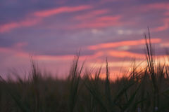 Sunset. The photo shows a barley field Stock Photo