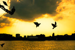 Sunset and Pigeon Royalty Free Stock Photography