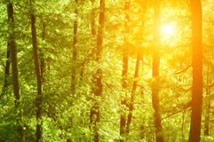 Sunset in pine forest Stock Photos