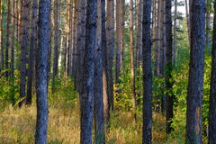 Sunset in a pine forest in early autumn Royalty Free Stock Photo