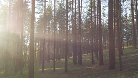 Sunset in pine forest with light rays stock video