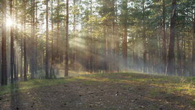 Sunset in pine forest with light rays stock video footage