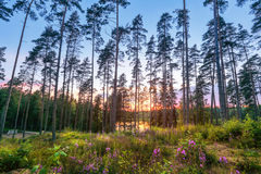 Sunset in the pine forest royalty free stock image