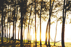 Sunset in a pine forest near sea Thailand Stock Images