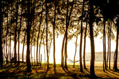 Sunset in a pine forest near sea Thailand Royalty Free Stock Image