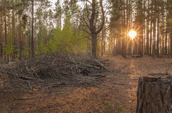 Sunset in a pine forest Royalty Free Stock Image