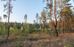 Sunset in a pine forest Royalty Free Stock Photography