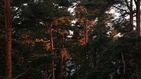 The sunset in pine forest. The sun illuminates the tree trunks. Time Lapse. stock footage