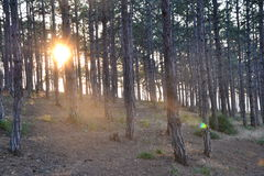 Sunset in a pine grove on the beach Stock Photo