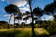 Sunset in a Pine Tree Forest Royalty Free Stock Photos