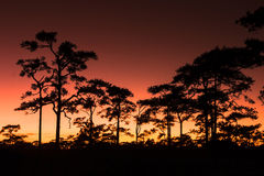 Sunset and Pine Trees. At Phuktadung NationalPark, Thailand Stock Photography