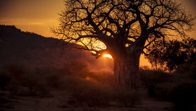 Sunset on the Plains of Africa with Giant Baobab Tree Stock Images