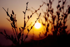 Sunset plant silhuette Royalty Free Stock Image