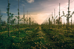 Sunset in polish apple orchard. Young apple trees in orchard stock photography