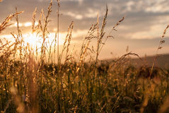 Sunset at Polish Roztocze meadow. Sunset at beautiful Roztocze Poland meadow through grass and wheat Stock Photo