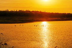 Sunset and pond with swans Royalty Free Stock Image