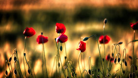 Sunset poppies. Poppies illuminated by the setting sun Stock Images