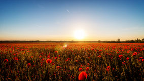Sunset with poppies Stock Photography