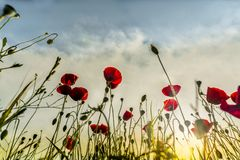 Sunset on poppy field of red poppies shines through the  photography, outdoor photography royalty free stock photo