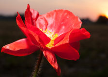Sunset poppy Royalty Free Stock Images