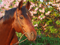 Sunset portrait of beautiful horse at flower backg Royalty Free Stock Photography