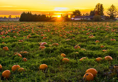 Sunset in Pumpkin Patch. Pumpkin Patch with sunset in background royalty free stock photography