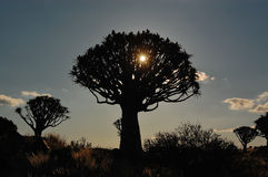 Sunset in quiver tree forest Stock Photography