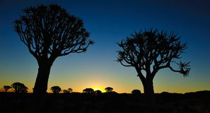 Sunset in the Quiver Tree Forest (Aloe dichotoma) Royalty Free Stock Photo
