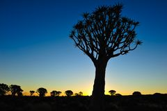 Sunset in the Quiver Tree Forest (Aloe dichotoma). Sunset - and in front a Quiver tree (Aloe dichotoma) near Keetmanshoop (Namibia Stock Photo