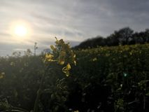 Sunset with rapeseed Royalty Free Stock Photography
