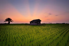 Sunset ray at paddy field. Beautiful sunset with abandoned old house at paddy field Stock Images