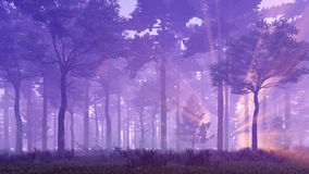 Sunset rays in foggy pine forest Royalty Free Stock Photos