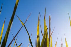 Close up golden Japanese Leaves of rice shot from under with blue sky and copy space. royalty free stock photography