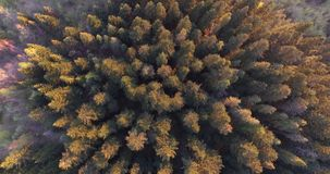 Sunset rays touched the tops of tall spruces. Aerial view stock video