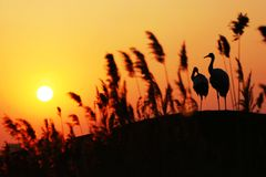 Sunset red-crowned crane stock image