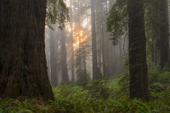 Sunset in redwood tree grove Stock Photography