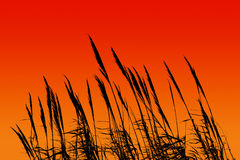 Sunset reed Stock Image