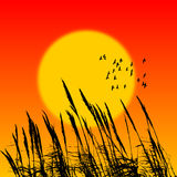 Vector Sunset reed background. Reed silhouette When the sun was setting Royalty Free Stock Photo