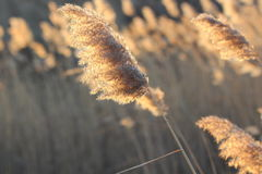 Sunset reed Royalty Free Stock Photos