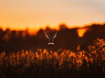 A common tern as an evening angel over the reed stock photography
