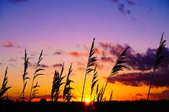Sunset Reed Silhouette Stock Image