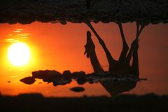 Sunset reflection. The silhouette of a giraffe is reflected in the water Stock Photo