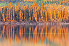 Sunset reflections on boreal forest lake in Yukon Royalty Free Stock Image