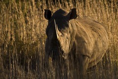 Sunset Rhino. Beautiful large horned African Rhino taken at sunset looking directly at camera Royalty Free Stock Images