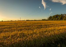 Sunset rice field Royalty Free Stock Photos