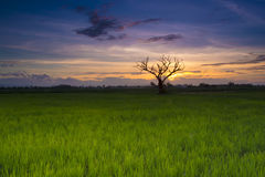 Sunset on Rice field and Silhouette of Dead Tree Stock Image