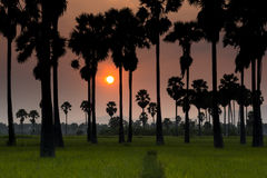 Sunset and rice field Royalty Free Stock Image